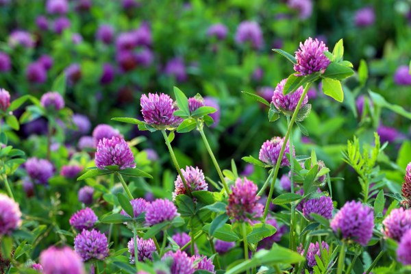growing red clover