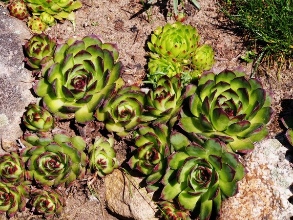 hens and chicks garden care