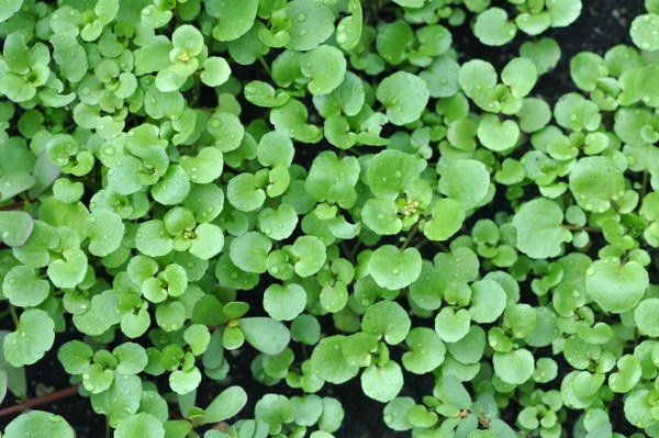 watercress garden maintenance